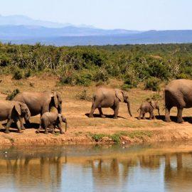 COVID Honeymoon, image of elephants by watering hole