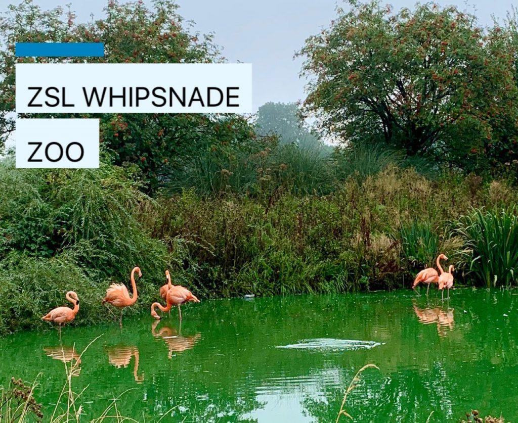 Flamingos at ZSL Whipsnade Zoo